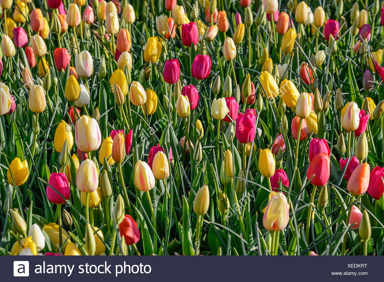 Tulips in bloom. - Stock Image