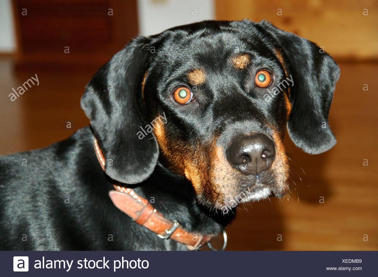 Head of a pedigreed dog Brandlbracke - Stock Image