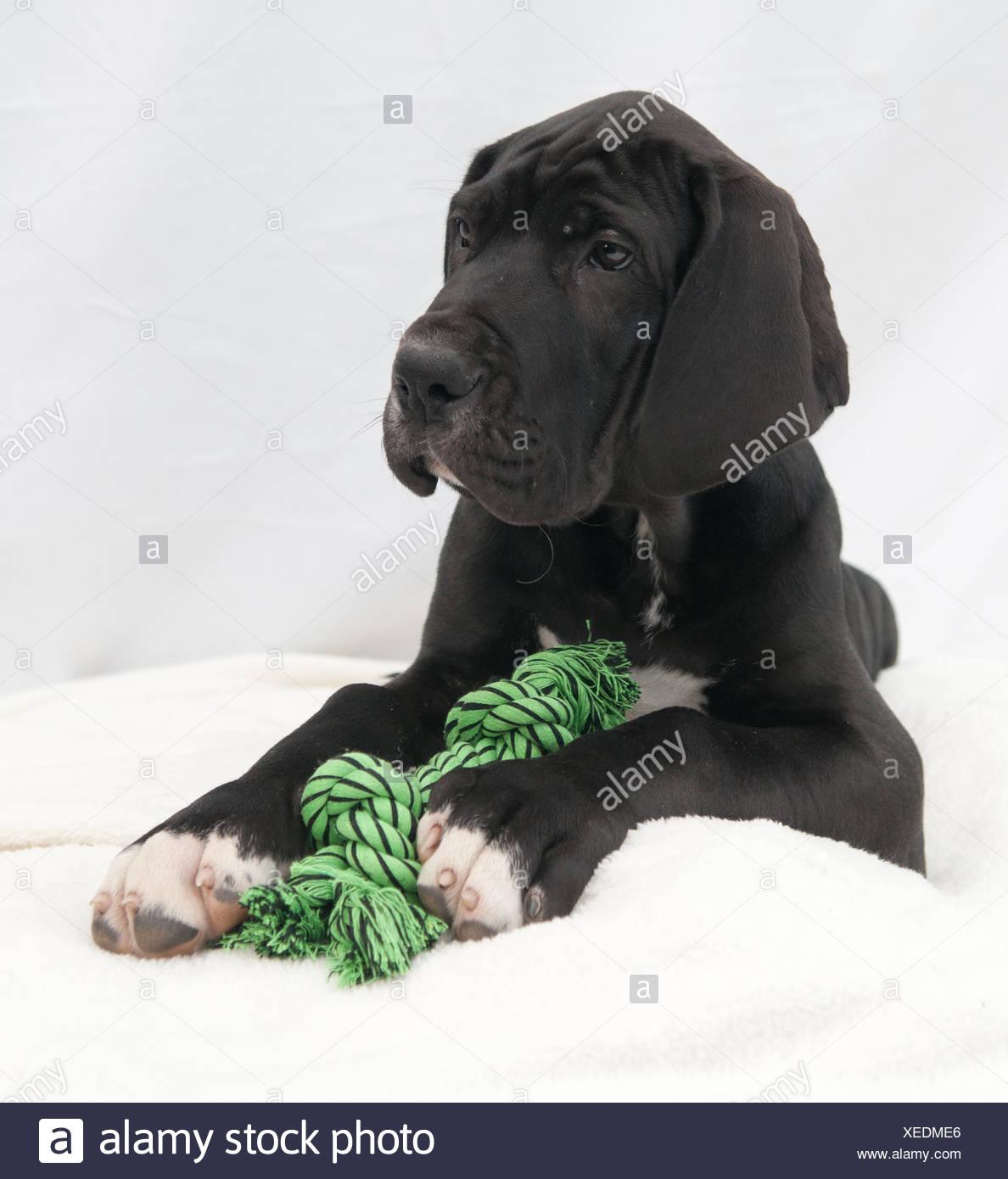 small tiny little short dog puppy breed breeder cute black swarthy jetblack deep black blank european caucasian lie lying lies - Stock Image