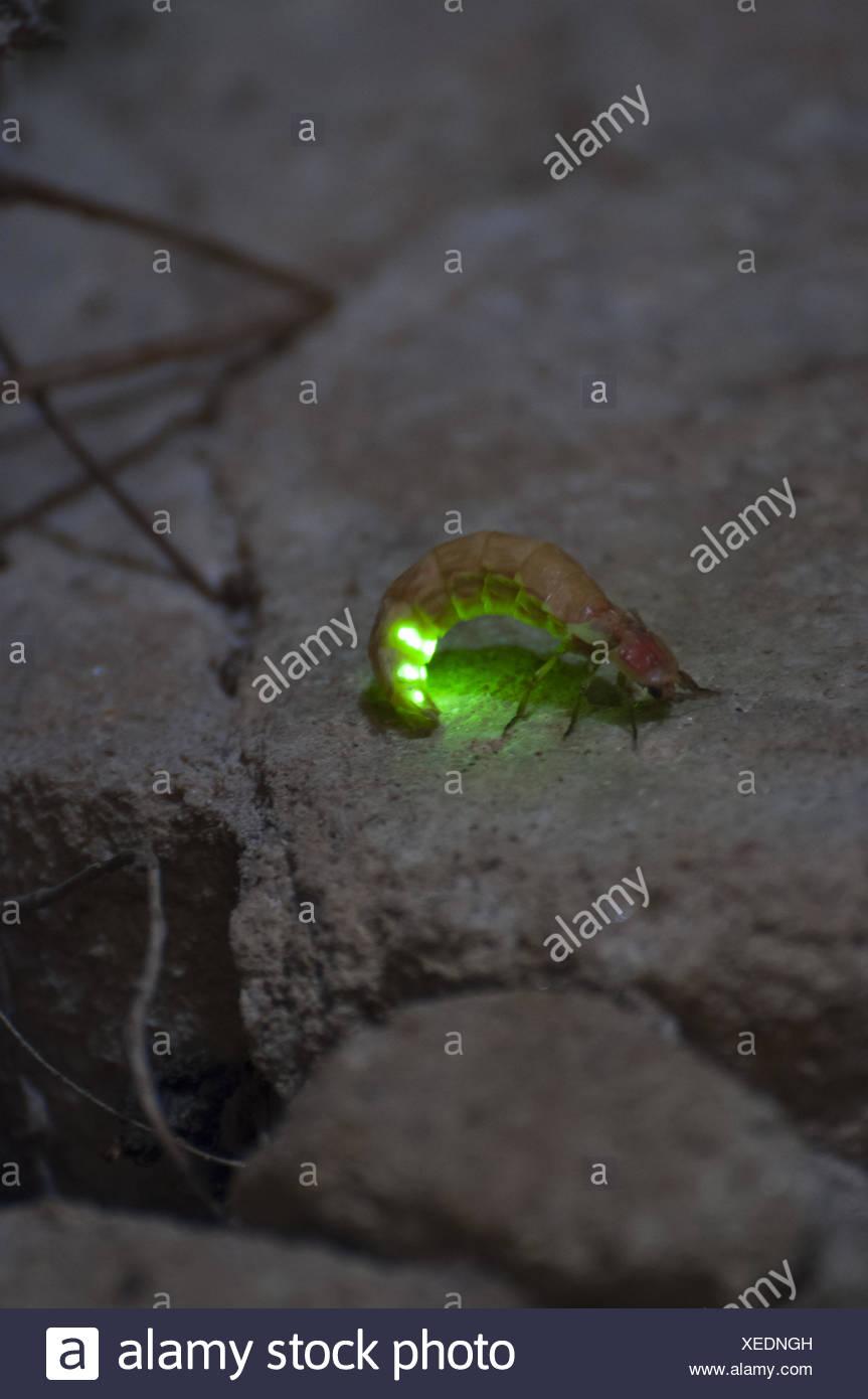 glowworm - Stock Image