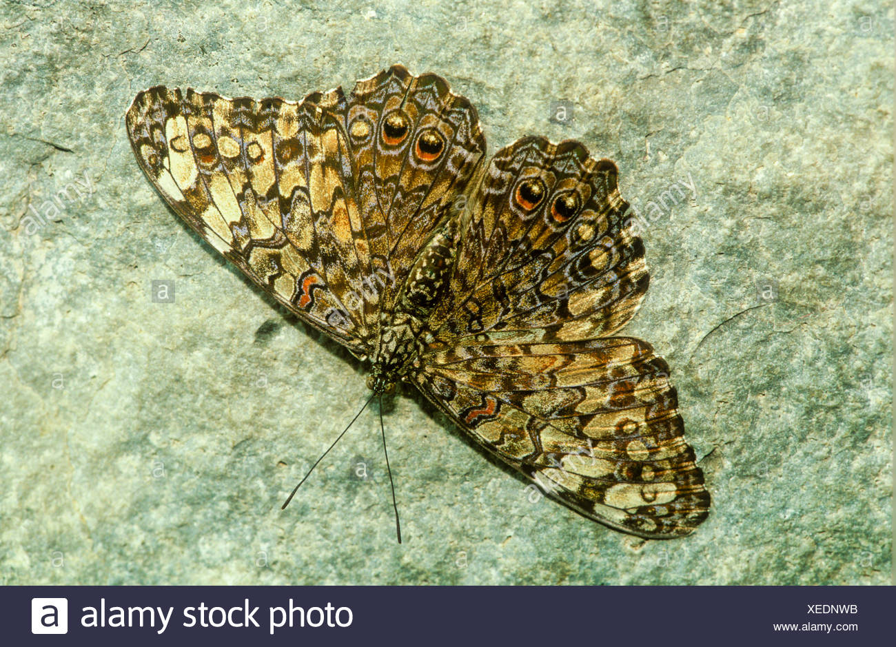 Variable Cracker Butterfly (Hamadryas feronia farinulenta) male dorsal view Argentina Brazil north through tropical America to - Stock Image