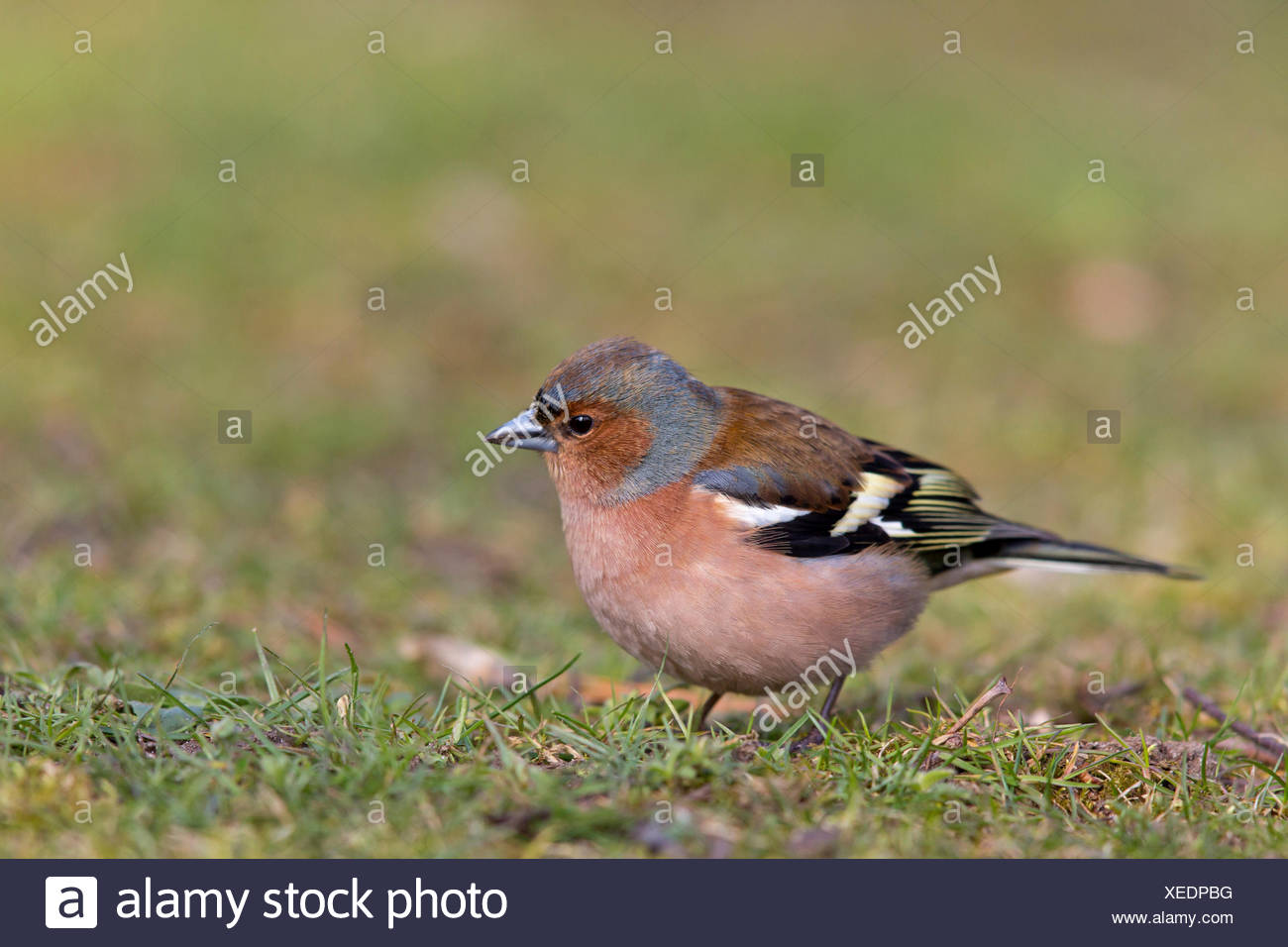 chaffinch (Fringilla coelebs), sitting in a meadow, Germany, Baden-Wuerttemberg - Stock Image