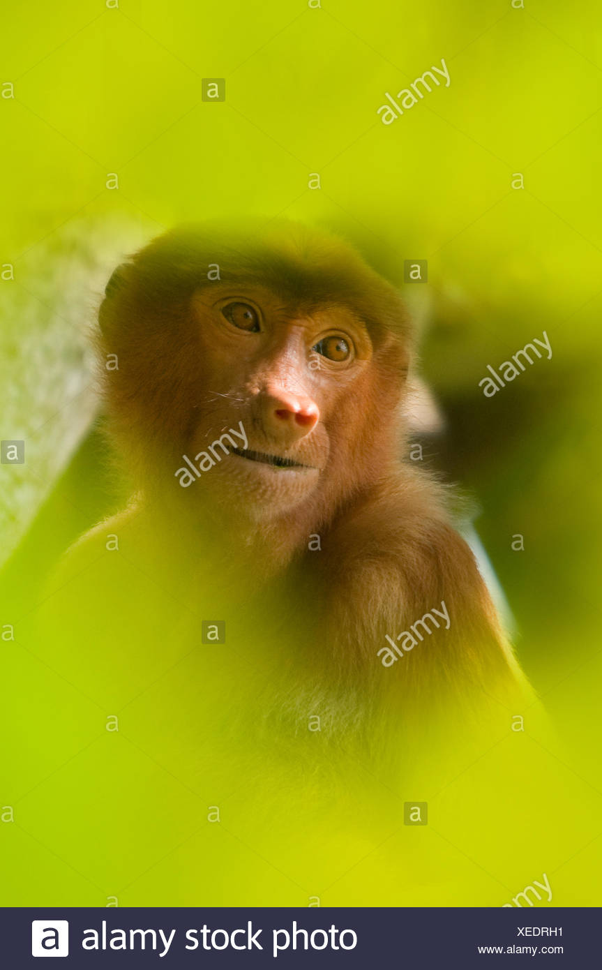 Proboscis Monkey (Nasalis larvatus) female sitting in tree, partially obscured by soft focus leaves in foreground, Bako National Park, Sarawak, Borneo, Malaysia - Stock Image