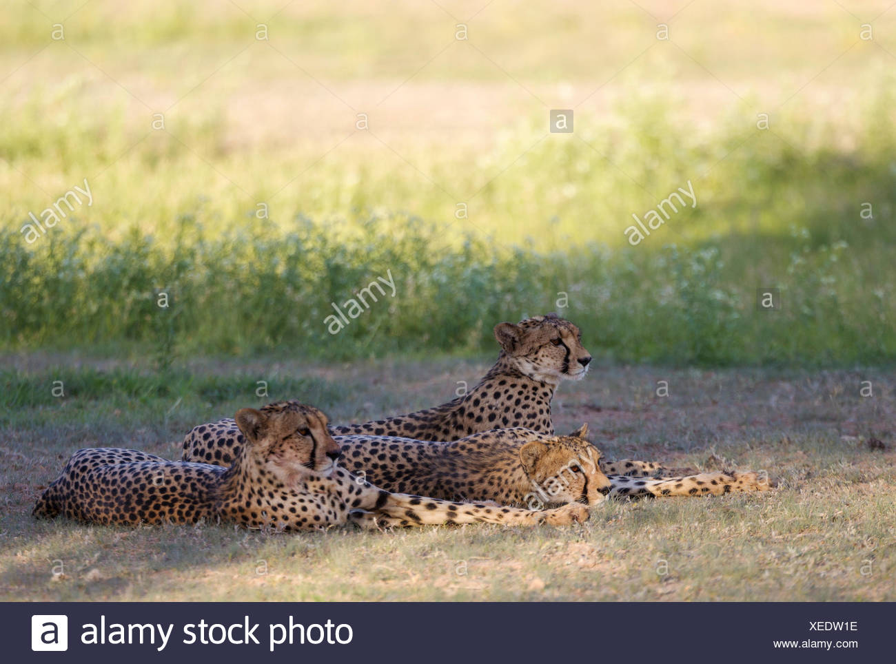 Cheetah (Acinonyx jubatus), female with her two subadult female cubs, resting after having fed, during the rainy season in green - Stock Image