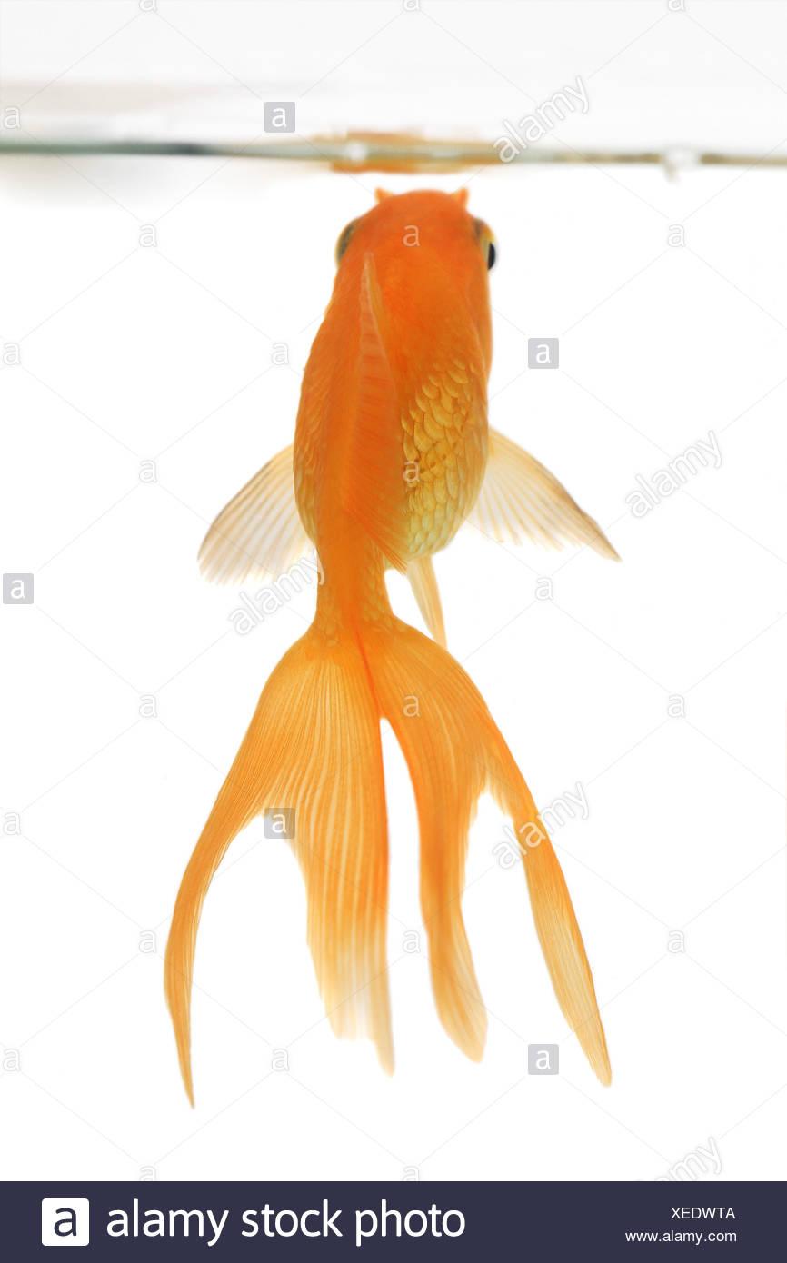 goldfish, common carp, fantail, comet, swallowtail