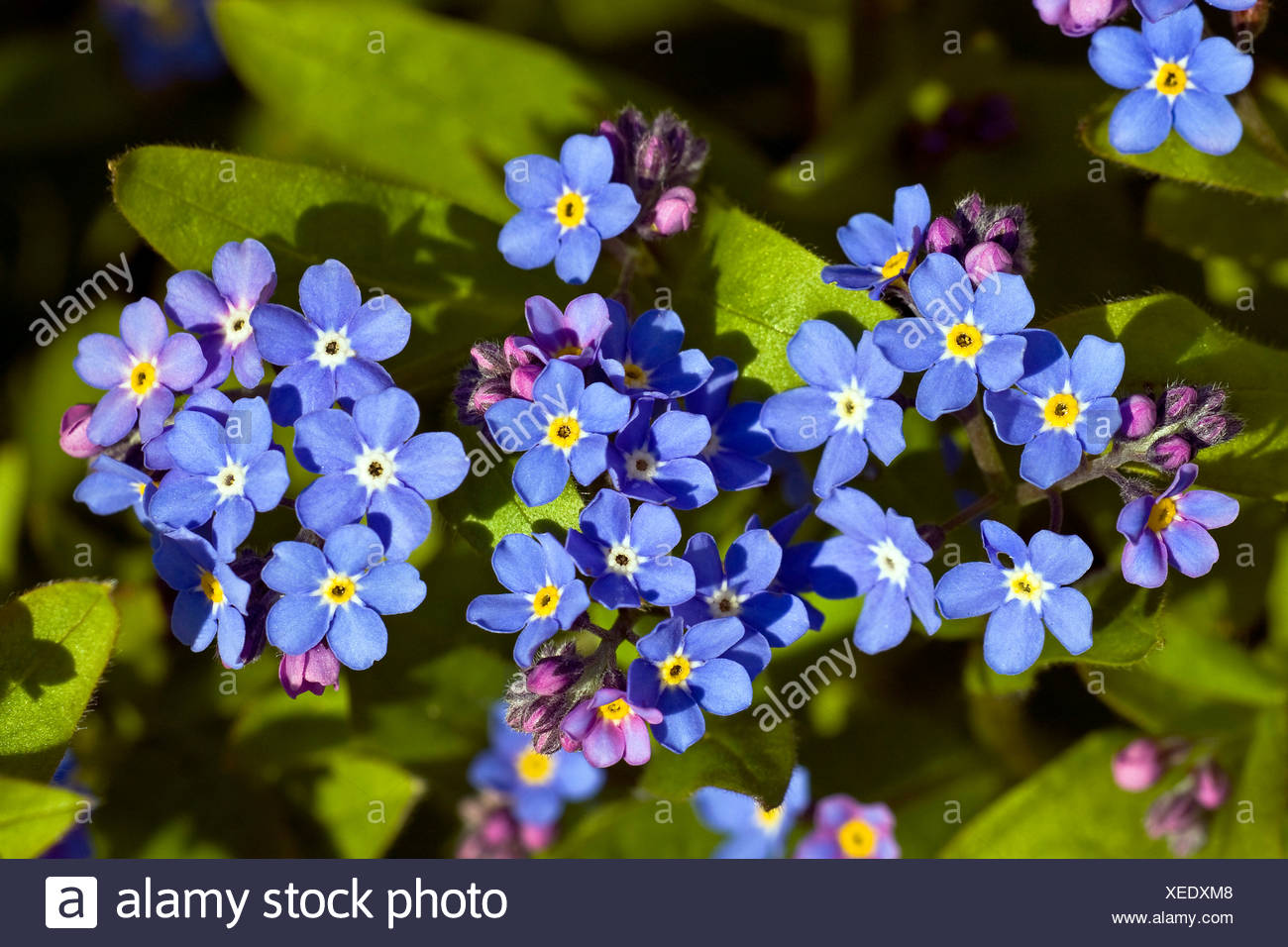 Forget-Me-Not (Myosotis spec.) Stock Photo