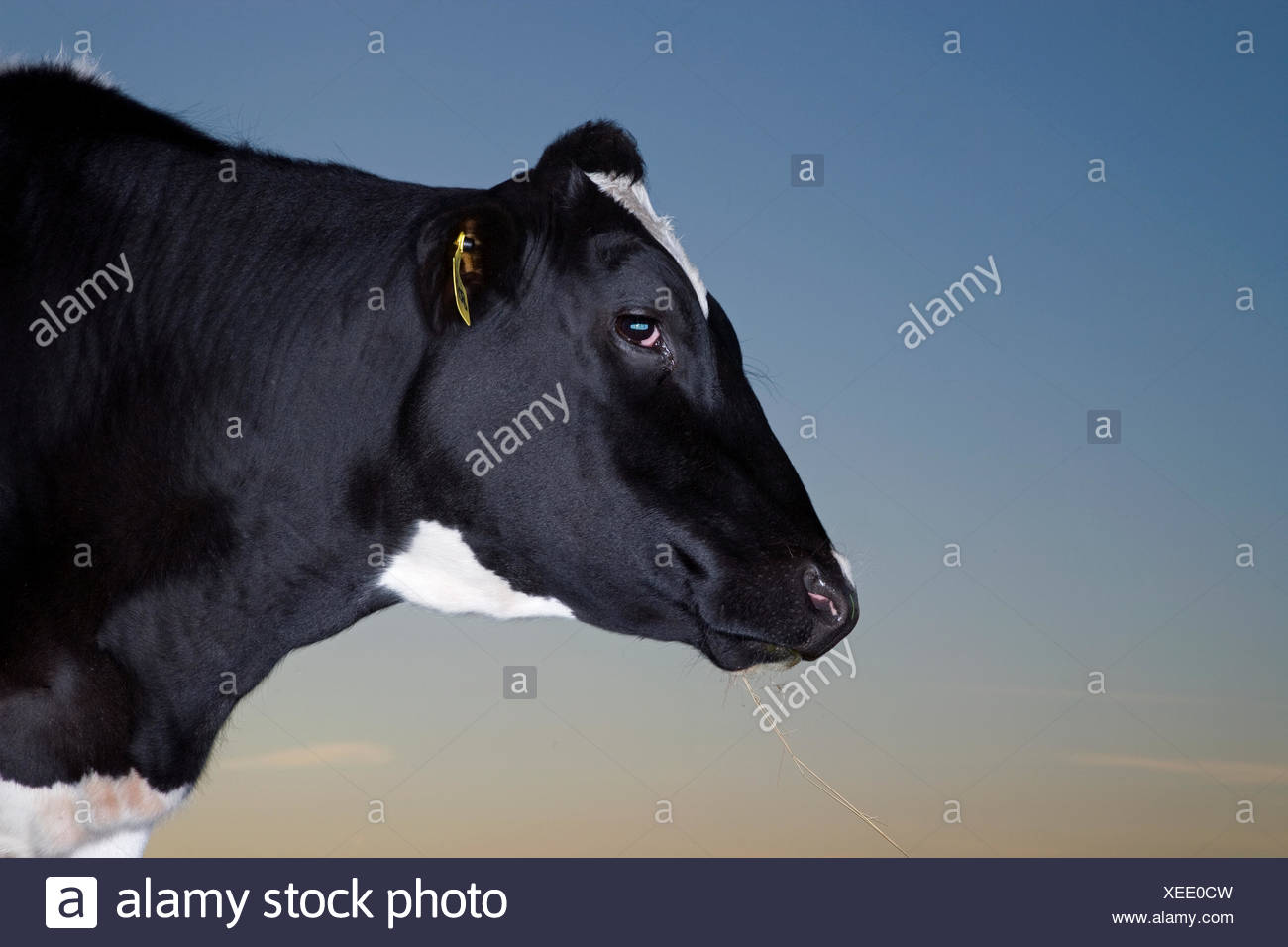 Portrait of a cow, Sweden. - Stock Image