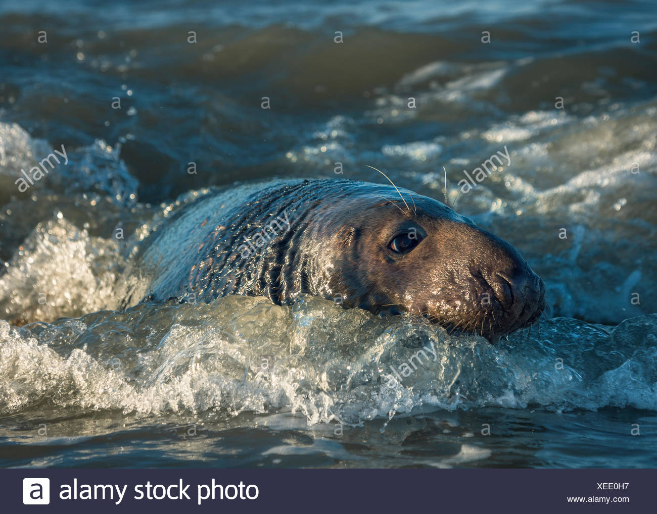 Grey seal (halichoerus grypus) in sea, Norfolk, England, United Kingdom Stock Photo