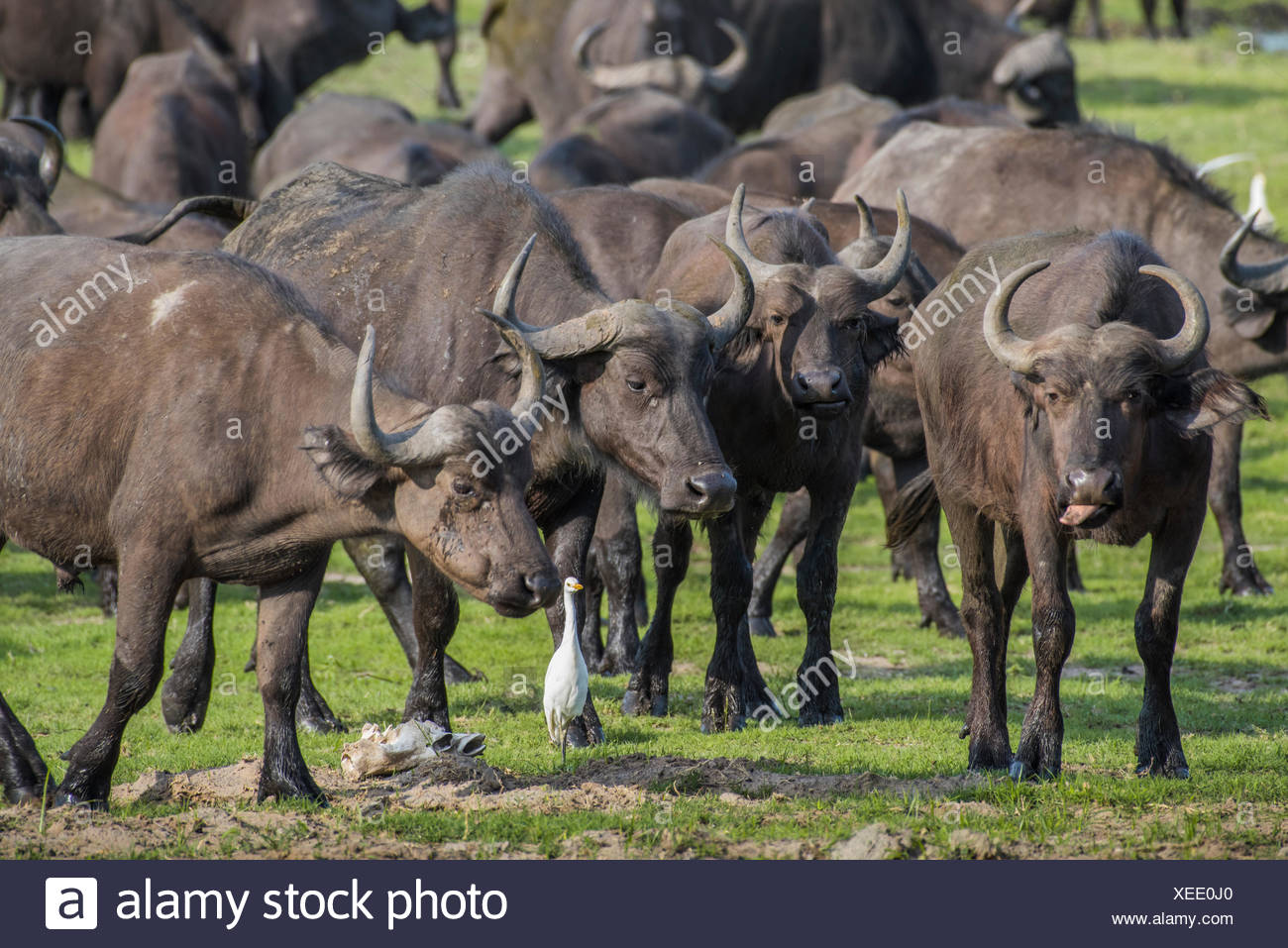 Herd Cof ape buffalos (Syncerus caffer), Kazan, Chobe River Front, Chobe District, Botswana - Stock Image