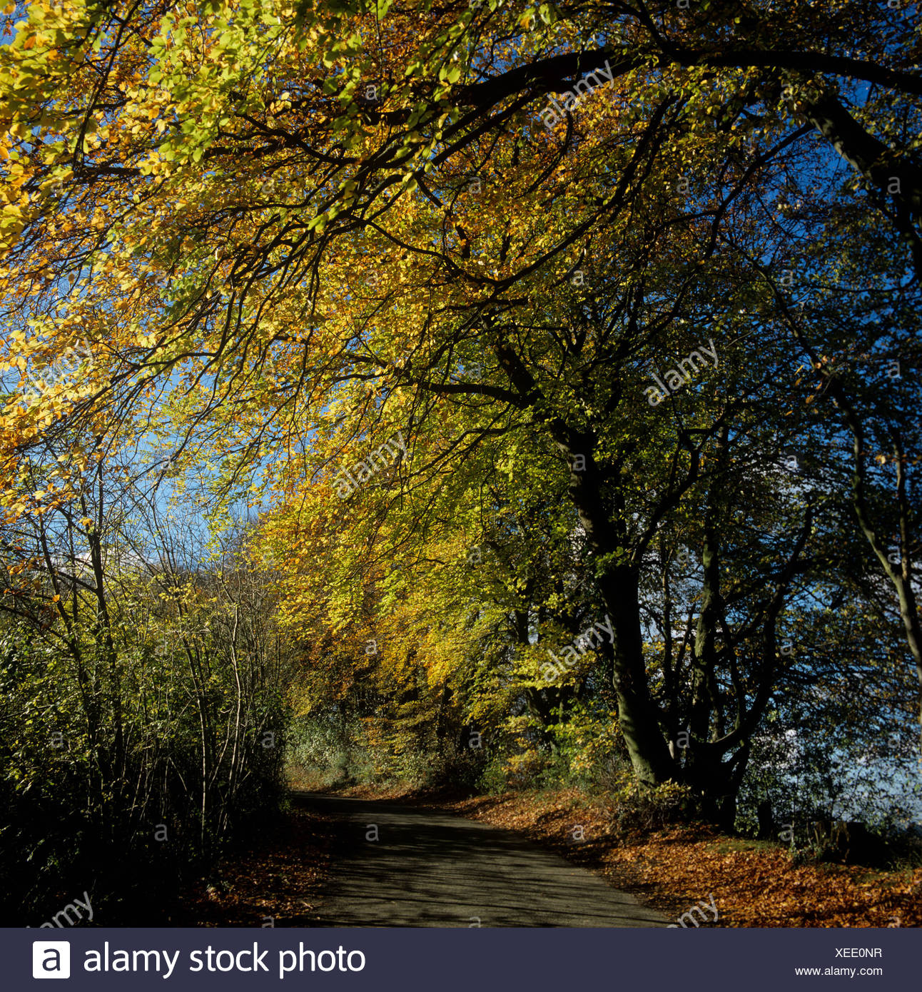 Beech (Fagus sylvatica) trees in autumn colour along a coloutry road, Berkshire - Stock Image