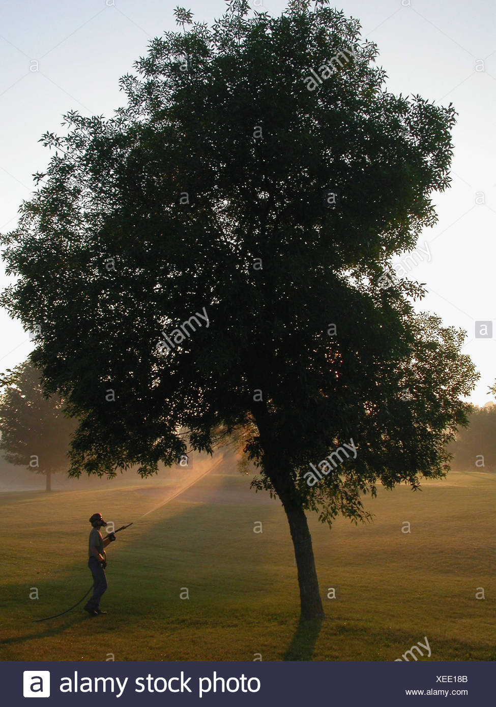 Foliar spray application to ash tree, for control of emerald ash borer - Stock Image