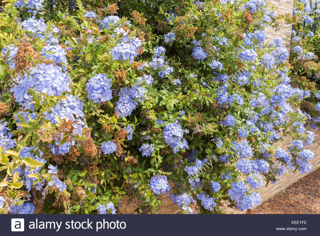 Blue Flowers Plumbago Auriculata Cape Leadwort Blue Jasmine Stock