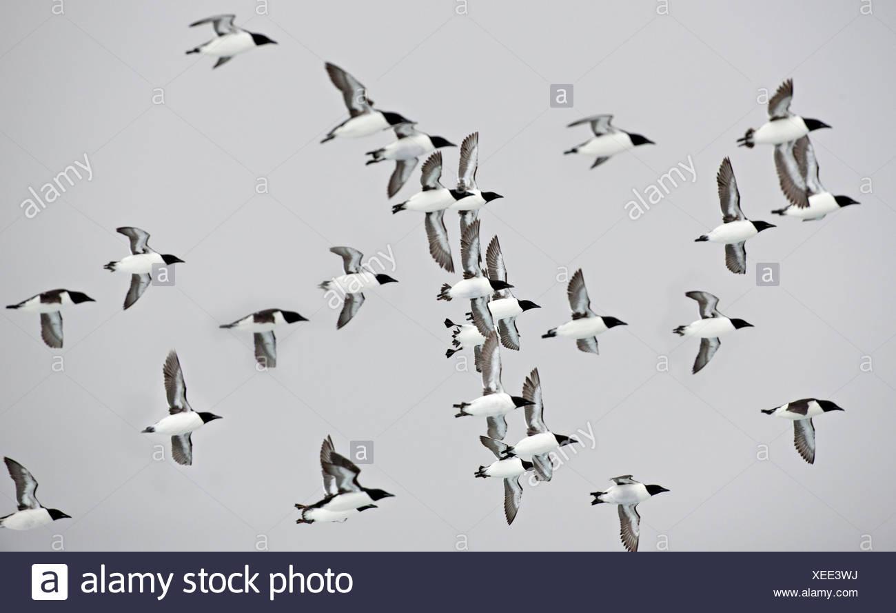 Flock of Thick-billed Murre, Uria lomvia, Nunavut, Canada Stock Photo