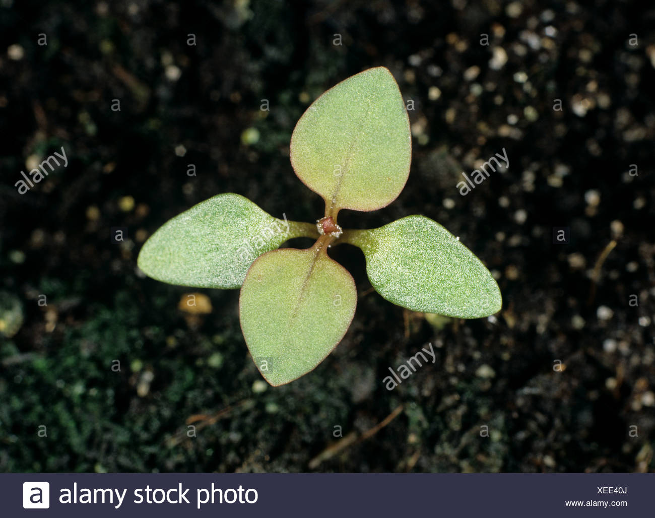Many-seeded goosefoot (Chenopodium polyspermum) seedling with cotyledons & two true leaves forming - Stock Image