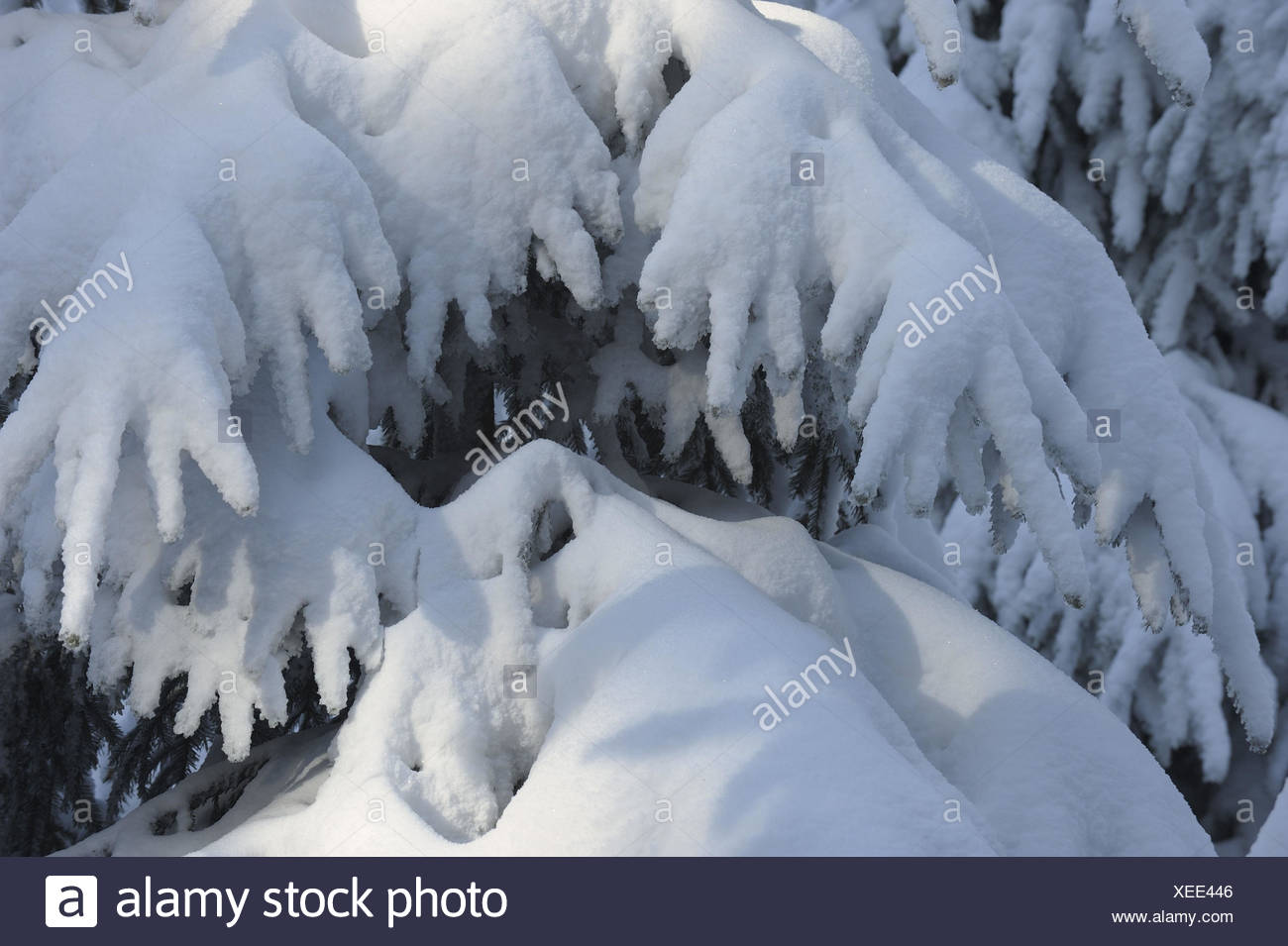 Conifer, detail, snow, winter, - Stock Image