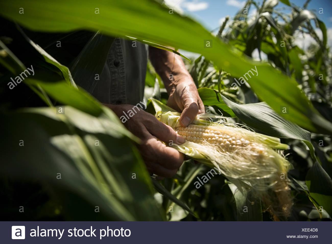 Farmer inspecting corn cob - Stock Image