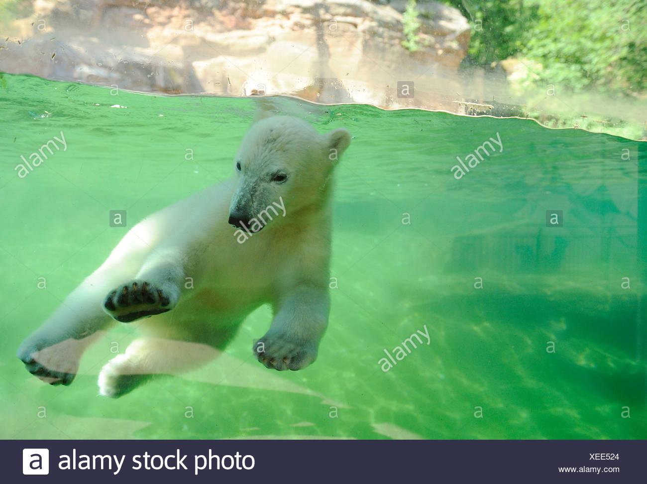 Polar Bear Ursus maritimus Thalarctos maritimus Stock Photo