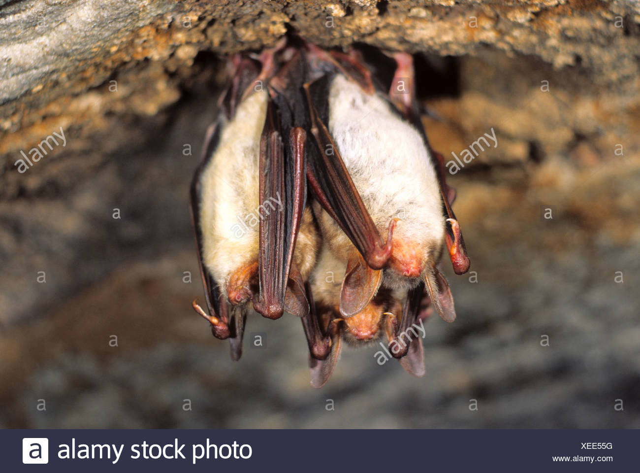 Greater Mouse-eared Bat (Myotis myotis) , hibernating in a cave - Stock Image