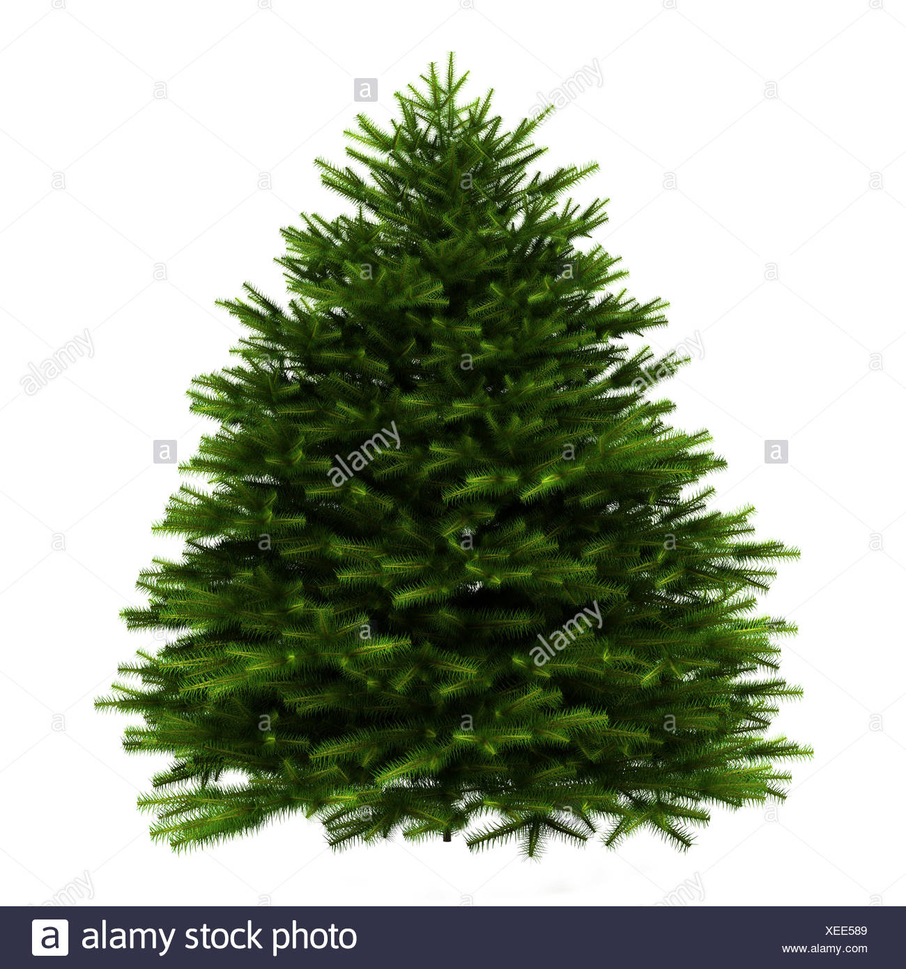 Abies Firma Stock Photos Abies Firma Stock Images Alamy