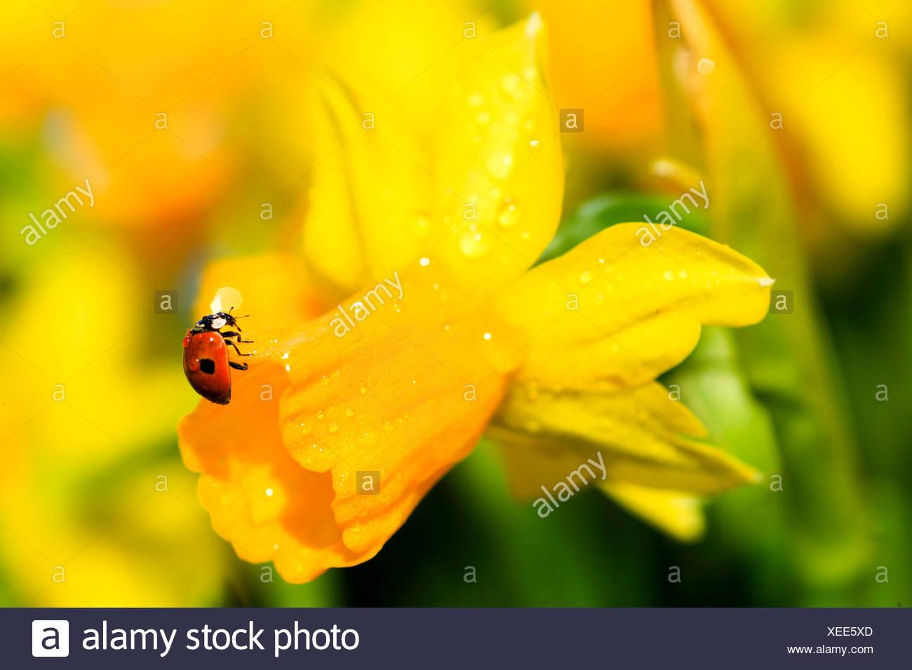 2, Adalia bipunctata, flower, flowers, blossom, flourish, Coccinellidae, detail, field, spring, garden, garden flower, yellow na - Stock Image