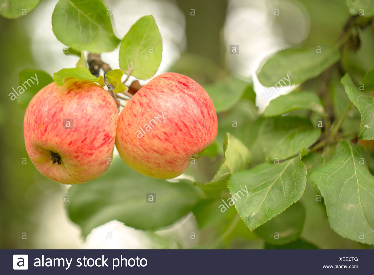 2 apples,2 objects,4-season autumn,agriculture,apple tree,apple tree branch,autumn,bokeh,bright,closeup,close-up apples,colorful,delicious,dessert,diet,food,four season,fresh,freshness,fruit,green,health,healthy,juicy,leaf,leaves,light,natural,nature,nutr - Stock Image