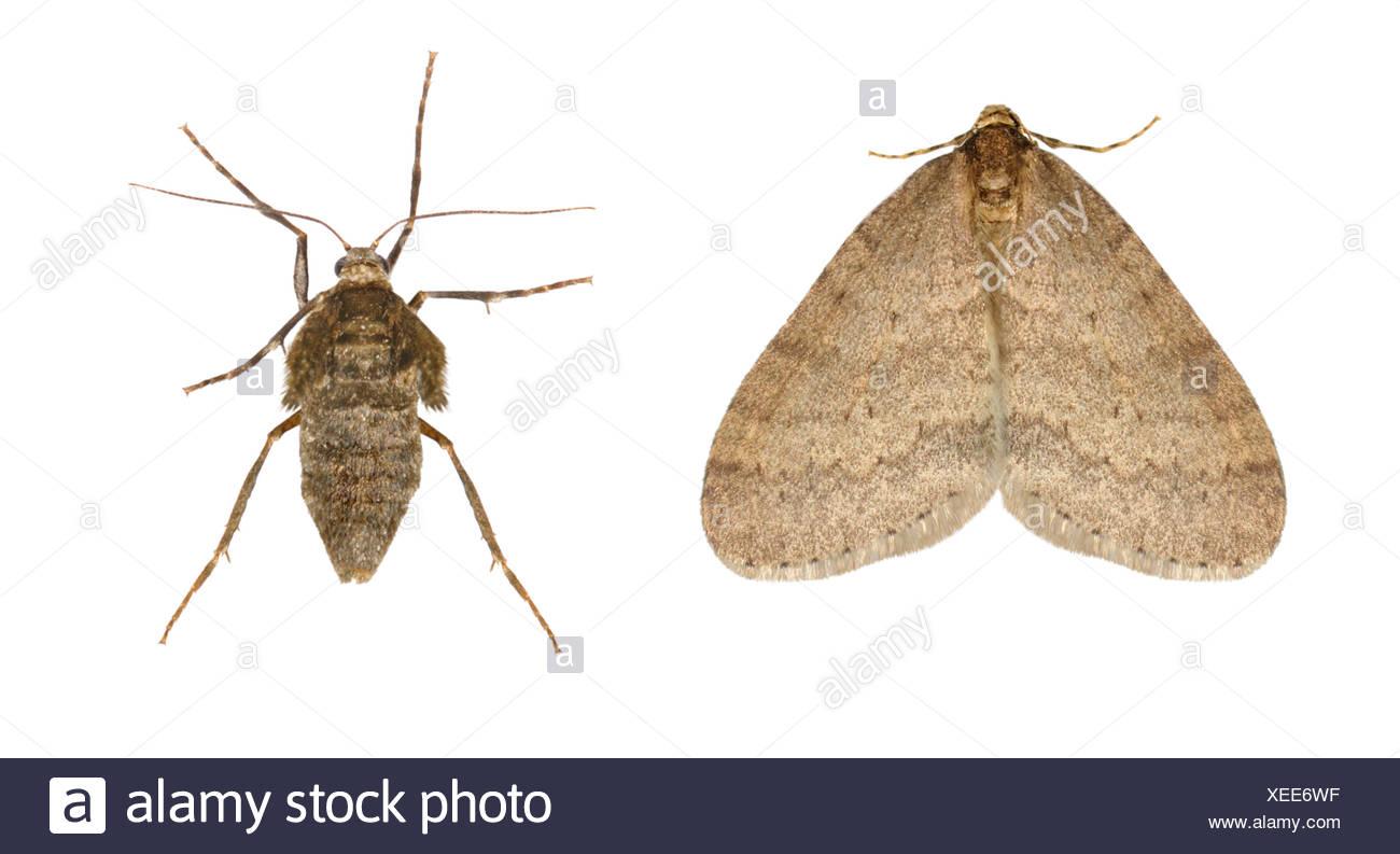 70.106 (1799) Winter Moth - Operophtera brumata - Stock Image