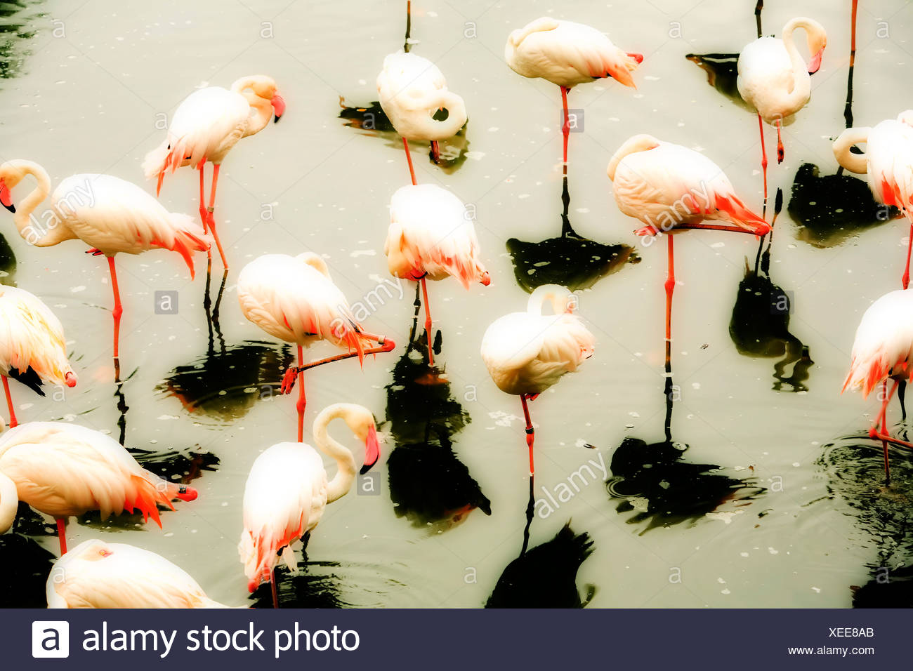Group of flamingos in pond - Stock Image