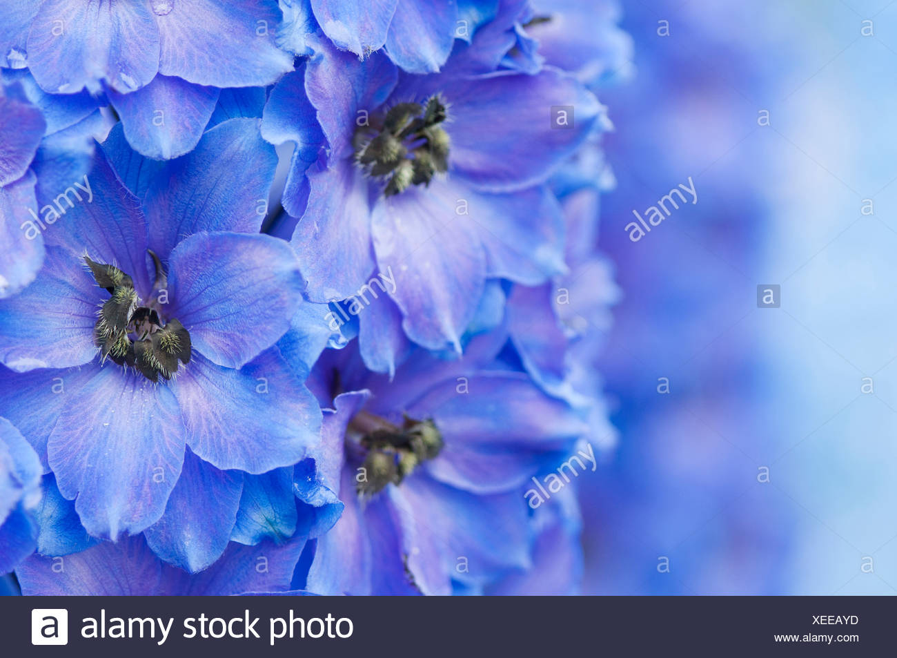 Close-up of vivid blue flowers of  Delphinium 'After Midnight'. - Stock Image