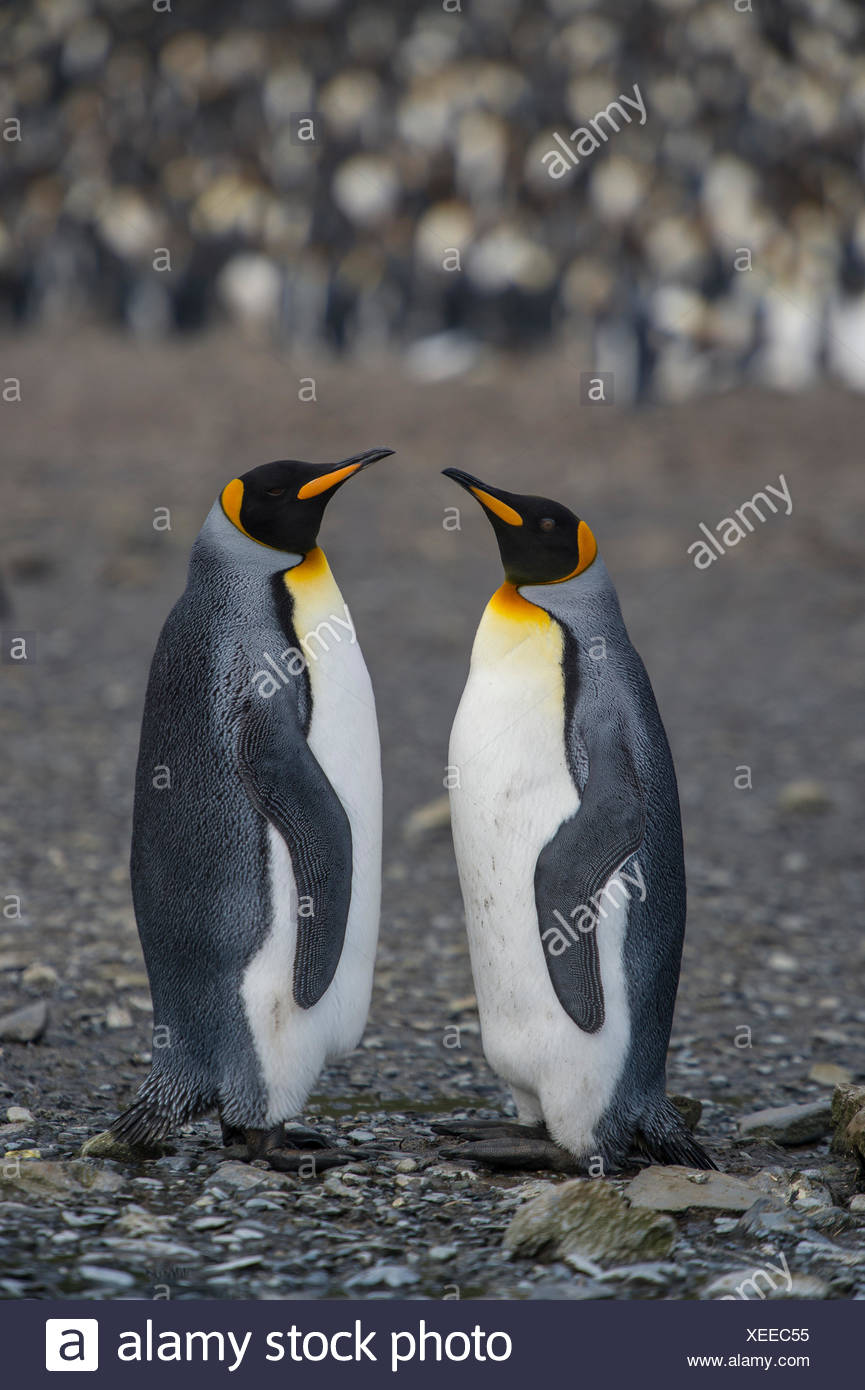 Pair of king penguins, Aptenodytes patagonicus, on South Georgia. - Stock Image