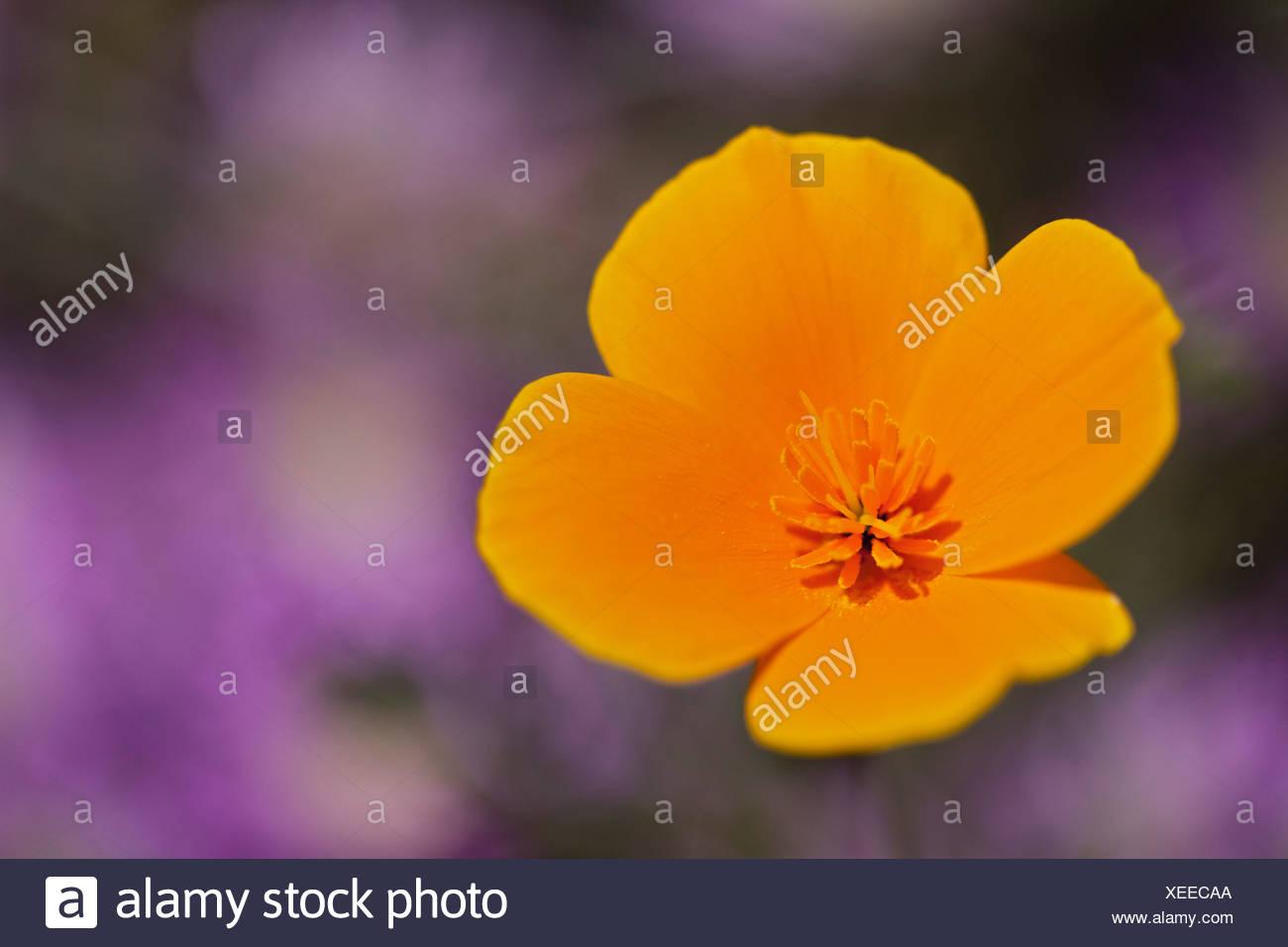USA, California, California poppy (Escholzia California), close-up - Stock Image