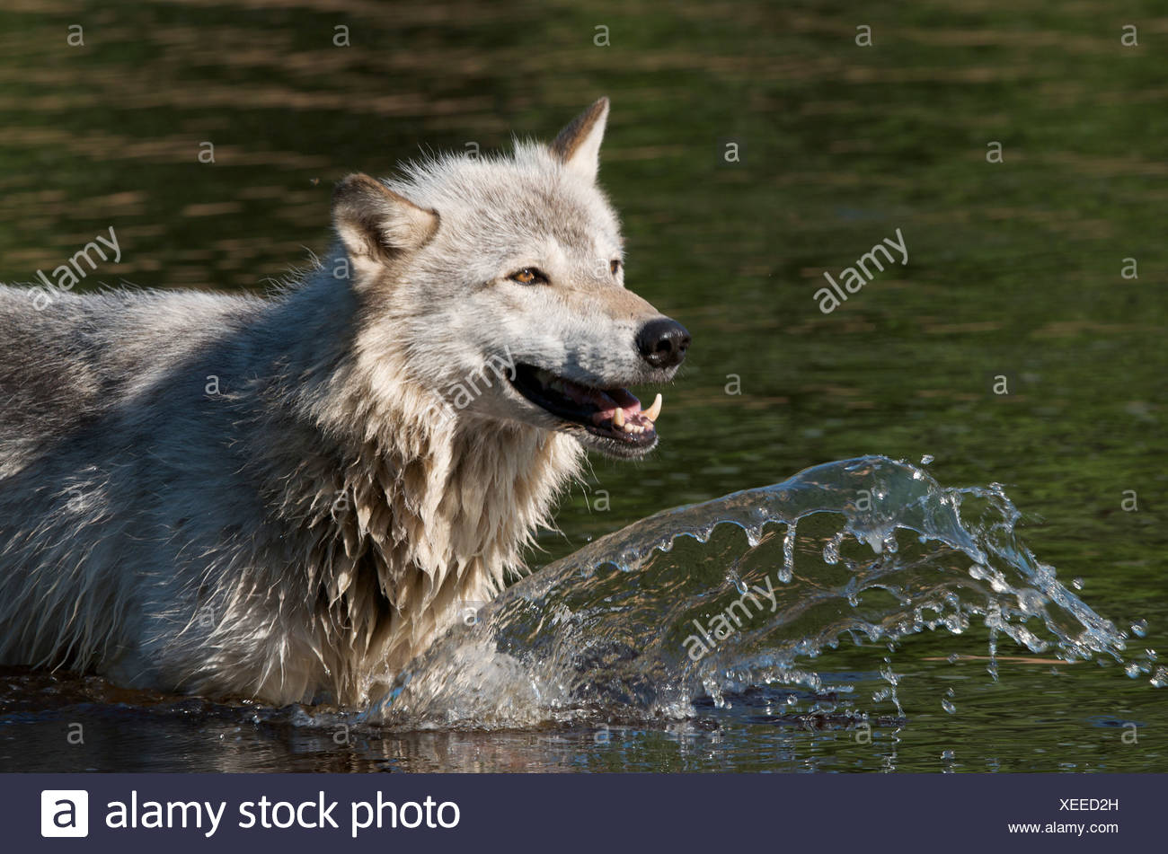 Timber Wolf (Canis lupus) in lake in Boundary Waters Canoe Area, Minnesota, USA, North America - Stock Image