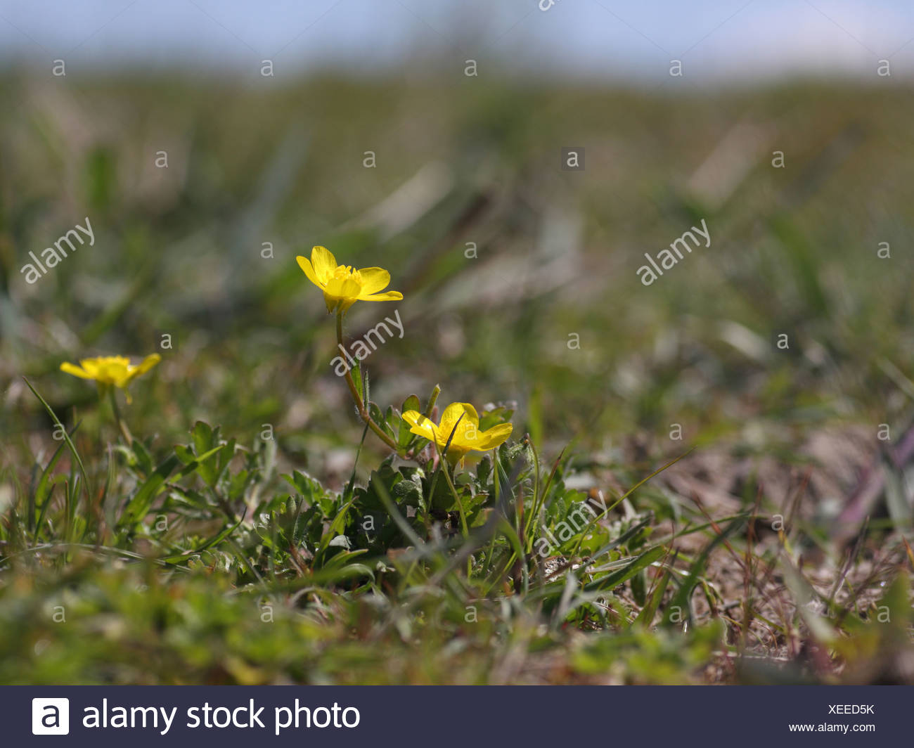 hairy buttercup - Stock Image