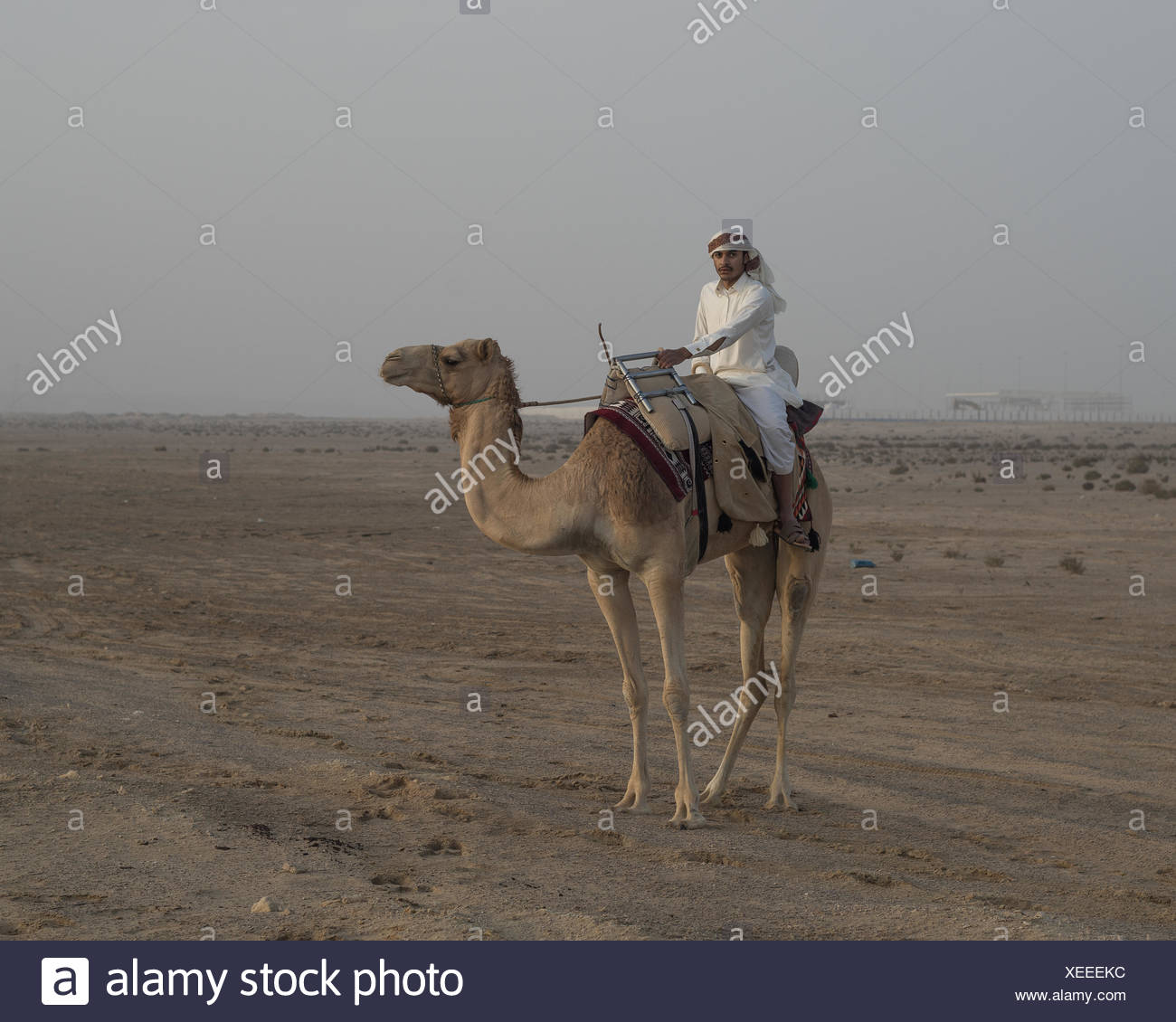An Arab man mounted on a camel prepares for the day's hunt during the Al Galayel Hunting Festival in Qatar. The annual event pits teams of hunters against one another using traditional Arab  hunting techniques. - Stock Image