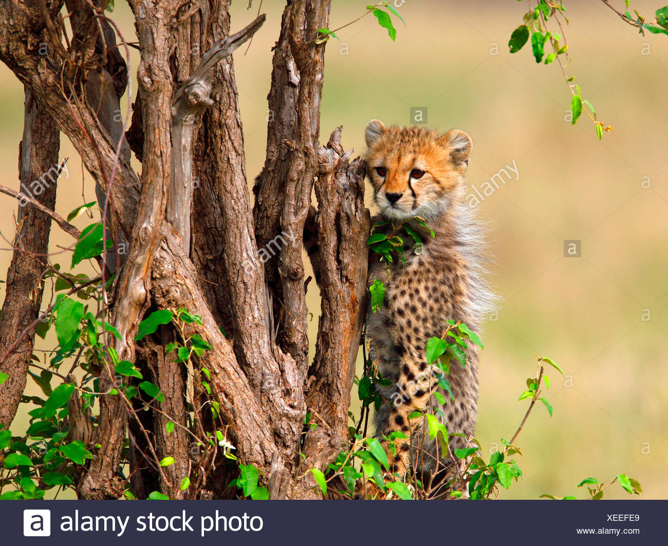 cheetah (Acinonyx jubatus), behind a tree, Kenya, Masai Mara National Park - Stock Image
