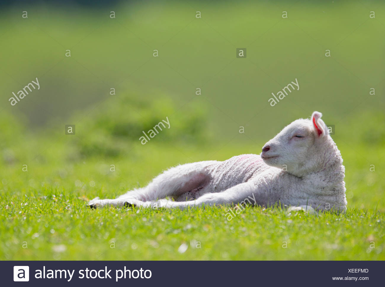 Tired lamb laying in sunny green spring field - Stock Image