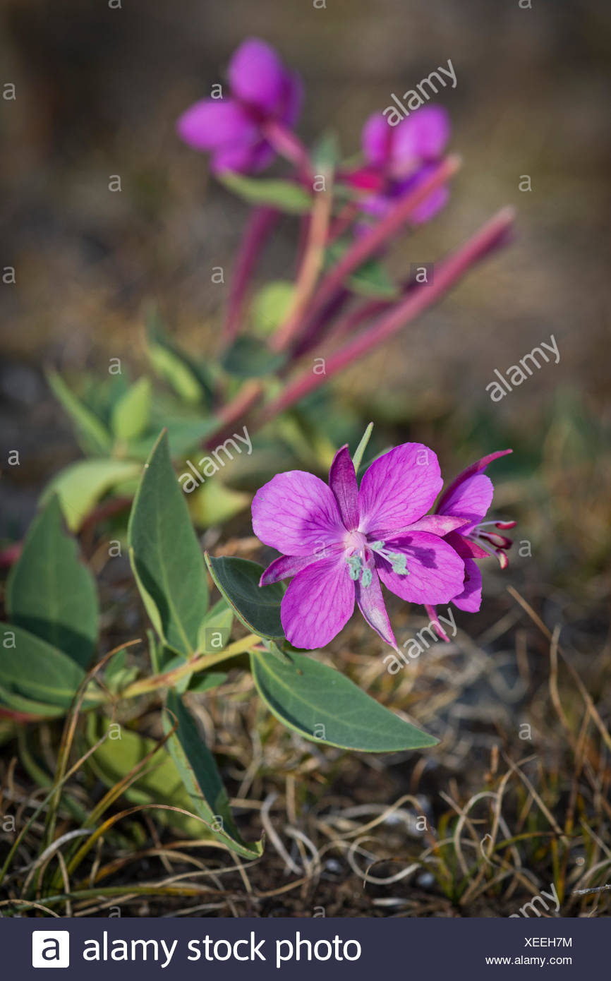 Arctic fireweed (Epilobium latifolium), Northeast Greenland National Park, Greenland - Stock Image