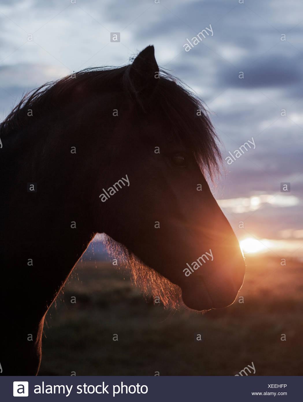 Iceland, Reykjavik, Close-up of horse's head at sunset Stock Photo
