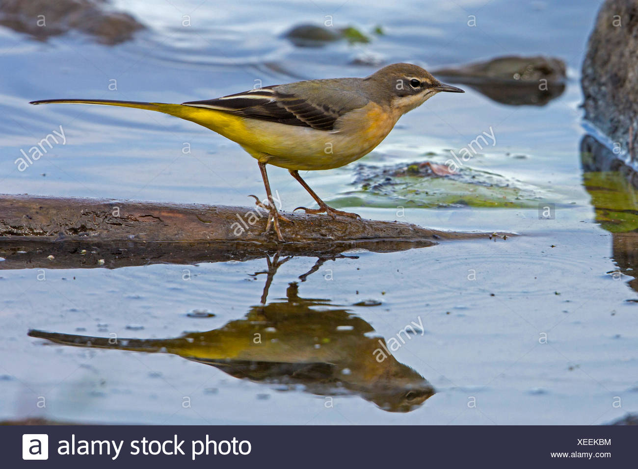 grey wagtail (Motacilla cinerea), in shallow water with mirror image, Germany, Bavaria, Lake Chiemsee - Stock Image