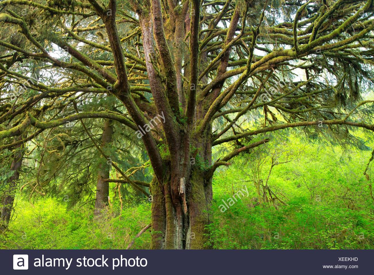 Sitka spruce (Picea sitchensis), Lincoln County, Oregon. Stock Photo