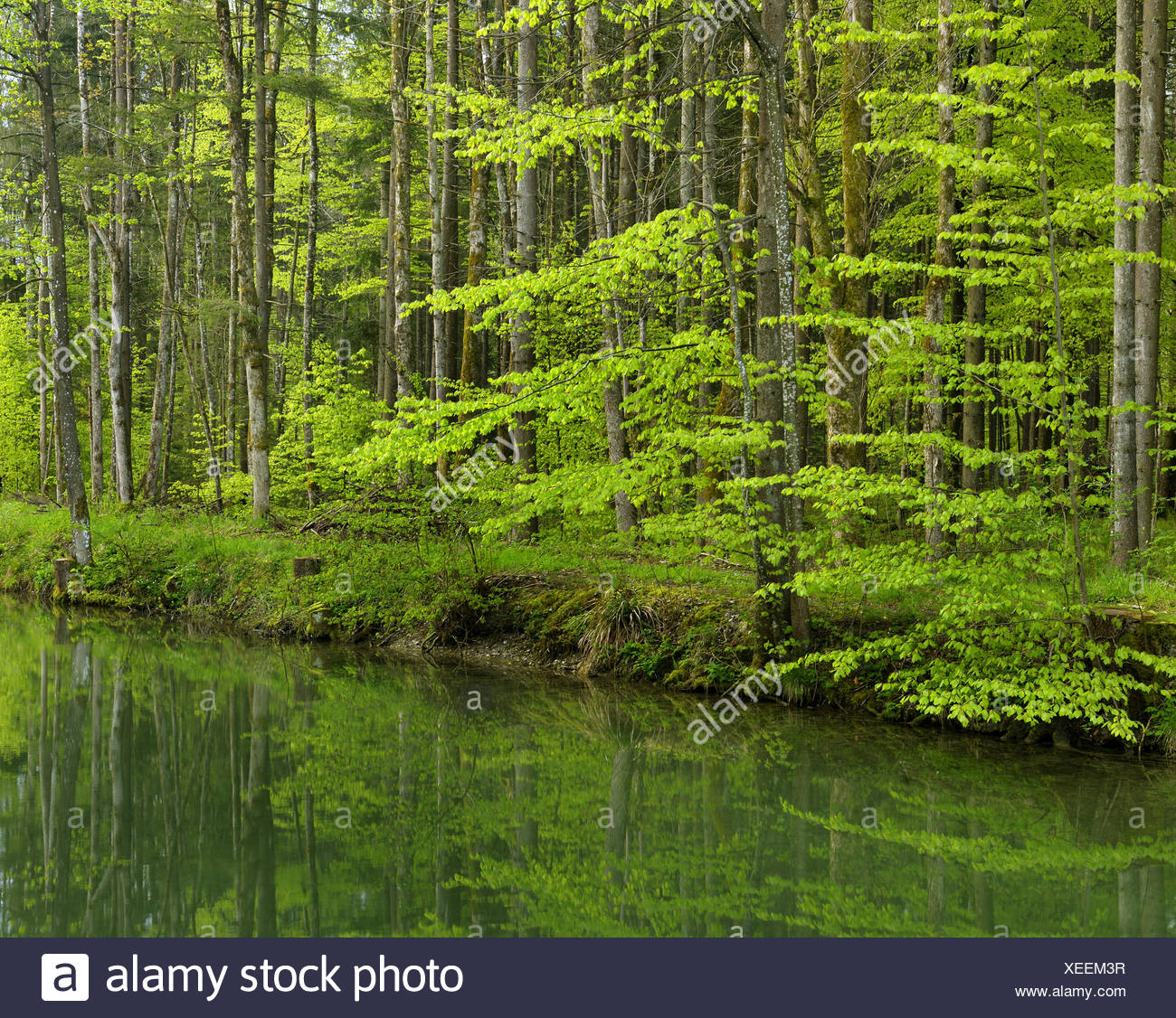 river with forest in spring, Germany, Bavaria - Stock Image