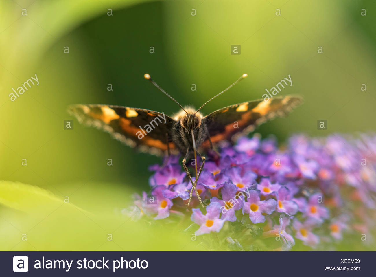 Small fox (Nymphalis urticae) on butterflies (Buddleja), garden, Oelsnitz in the Vogtland, Saxony, Germany - Stock Image