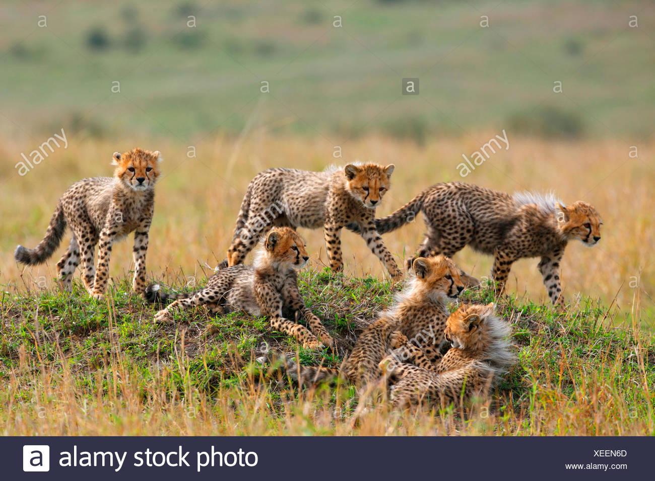 cheetah (Acinonyx jubatus), six cubs, Kenya, Masai Mara National Park - Stock Image