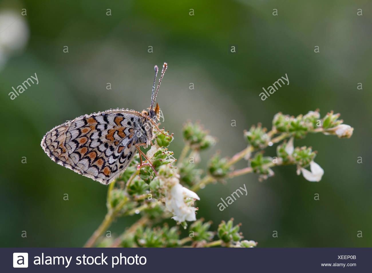 A butterlfy melitea, which is covered by morning dew, is waiting for the heat to fly. Lombardy, Italy - Stock Image