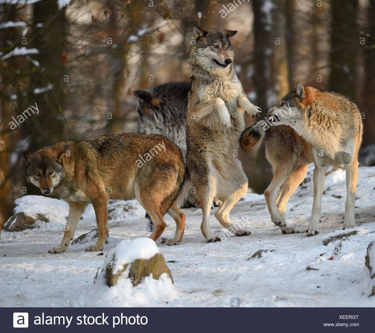 Reproof, ranking, domination, Northwestern wolf (Canis lupus occidentalis) in the snow, captive, Baden-Württemberg, Germany - Stock Image