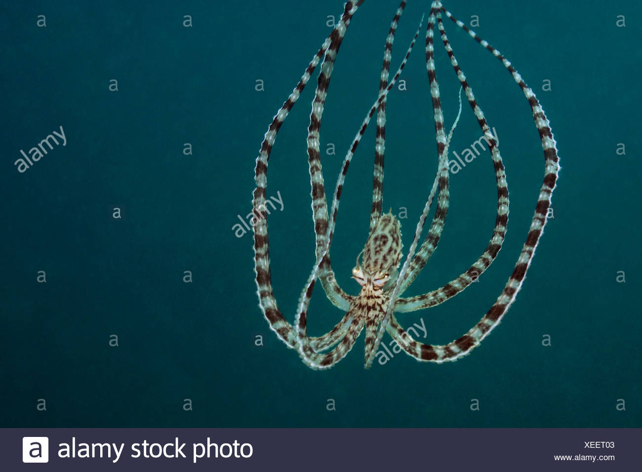 Mimic Octopus, Thaumoctopus mimicus, Lembeh Strait, Sulawesi, Indonesia Stock Photo