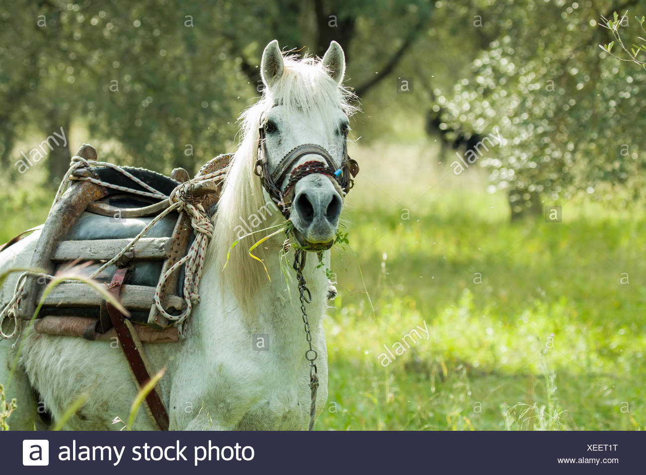 Horse on Lesvos or Lesbos - Stock Image