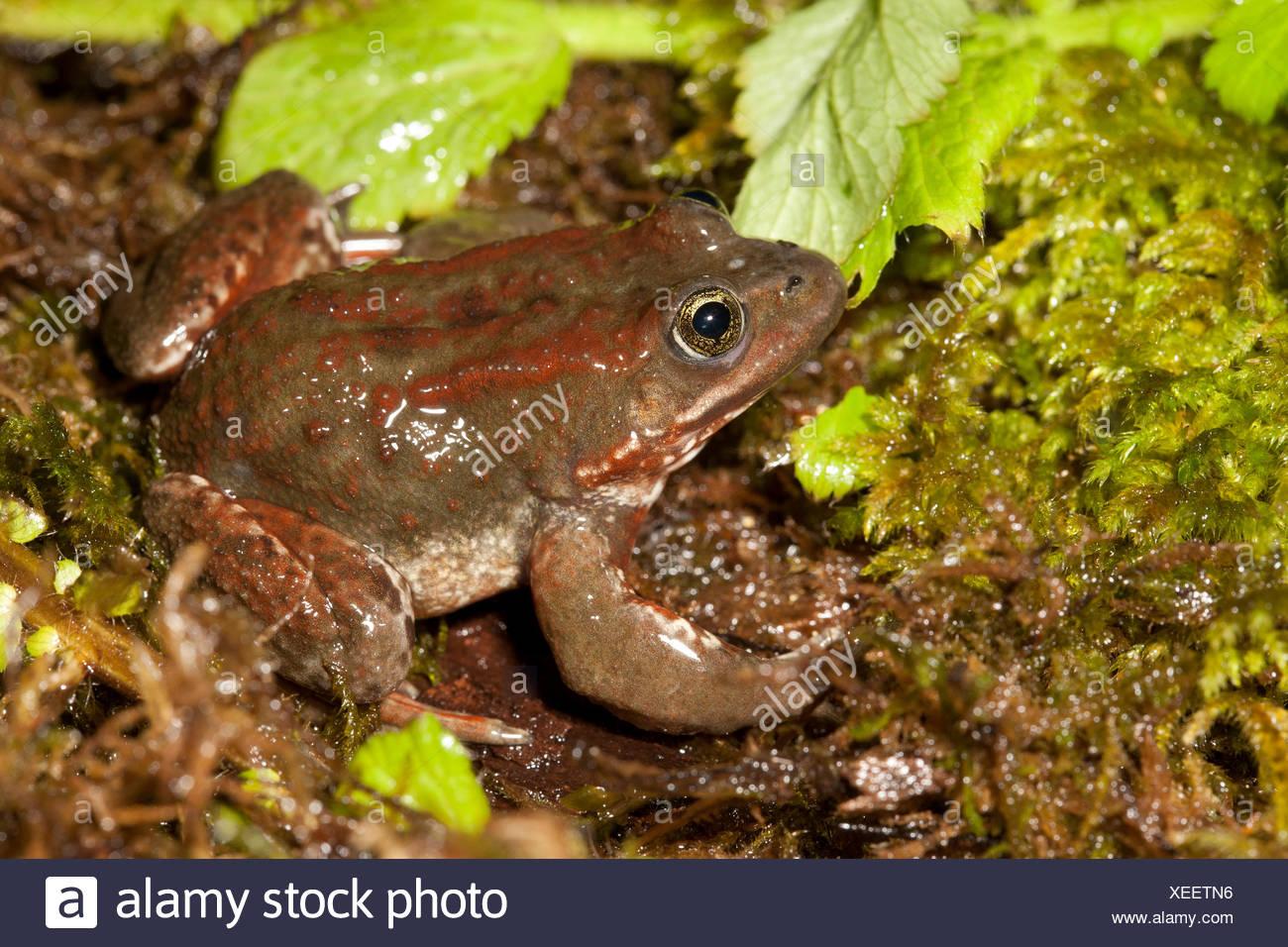 Oregon spotted frog, Rana pretiosa, Vancouver, BC, Canada Stock Photo