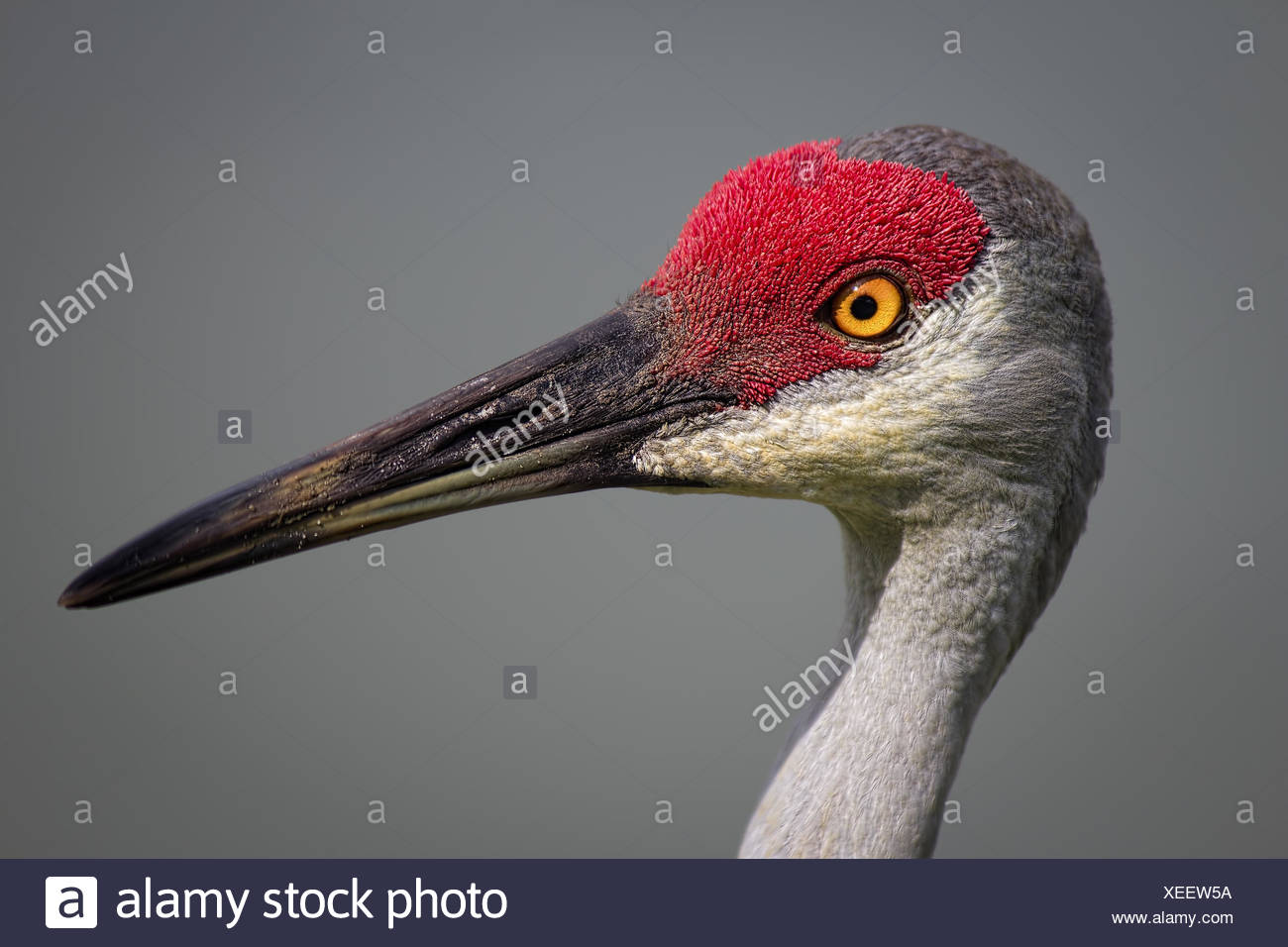Bird, Sanhill Crane, Day, Florida, USA Stock Photo