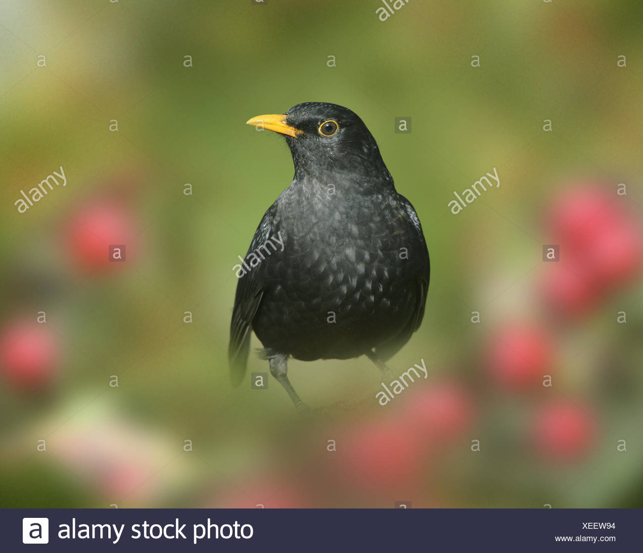 Blackbird - Turdus merula - male - Stock Image