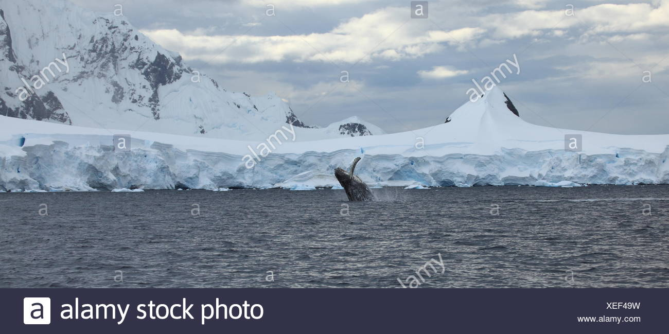 cold, antarctic, spring, bouncing, bounces, hop, skipping, frisks, jumping, - Stock Image